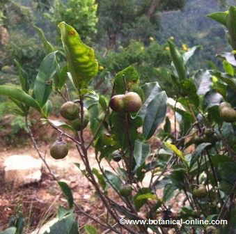 Photography Tea fruit. The fruit is used for its seeds, to reproduce the plant. ( Camellia sinensis)