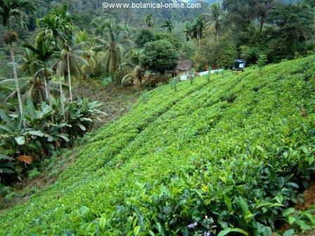 Tea plantation ( Camellia sinensis)