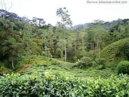 Landscape of green tea fields in the middle of the jungle, in the province of Deniyaya (Sri Lanka)