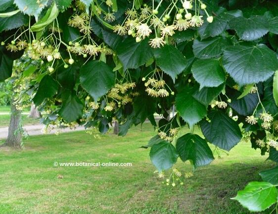 Photo of common linden with flowers