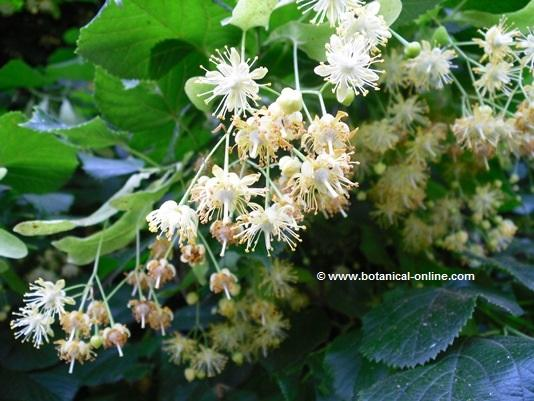 A detail of common linden flowers