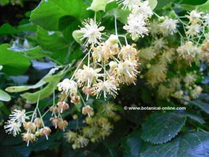 Photo of linden flowers