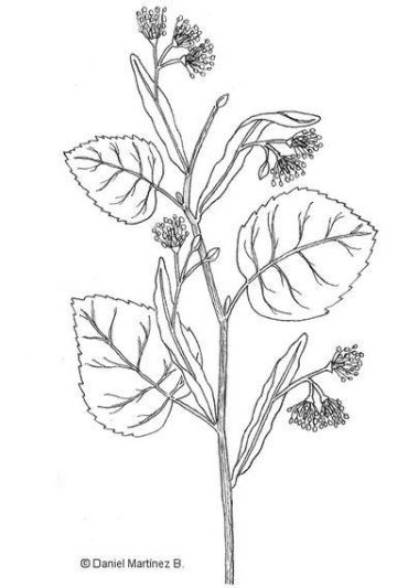 lime tree drawing