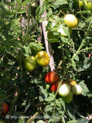 Cultivated tomato on cane tutors