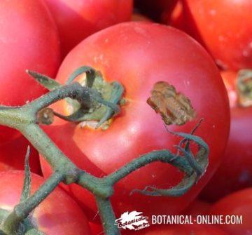 tomato blight