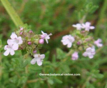Bilabiate flowers of thyme
