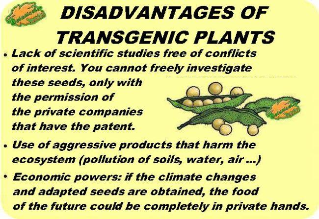 disadvantages of transgenic plants