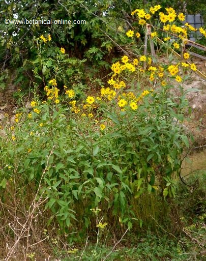 Jerusalem artichoke plant