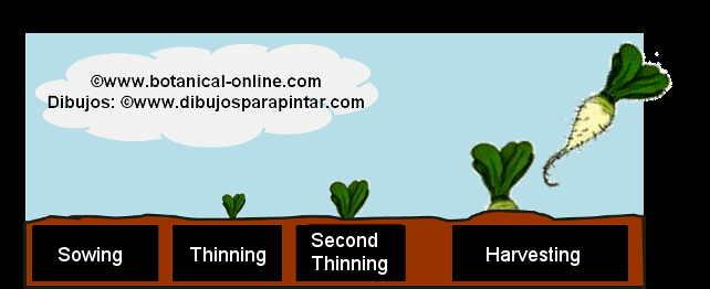 turnip labours