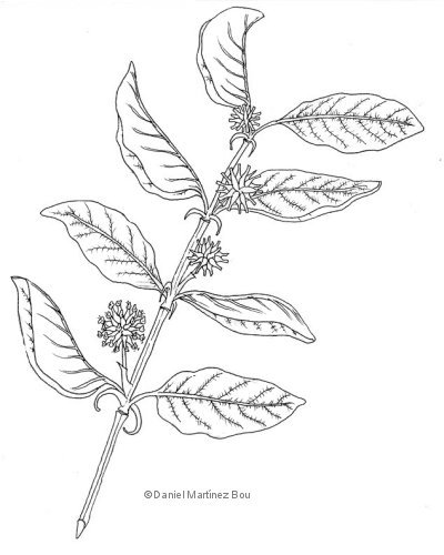 Illustration of cat's claw (Uncaria tomentosa)