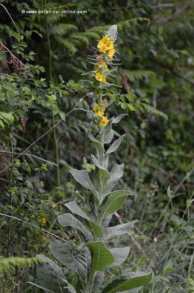 Verbascum pulverulentum plant