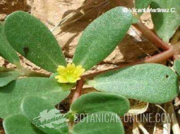 Purslane leaves and flower