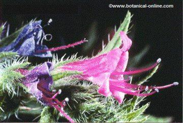 Viper flower