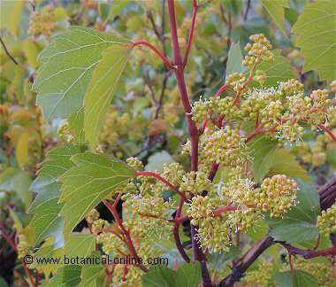 Wild grape vine