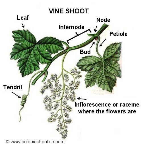 Vine shoot with leaves and racemes