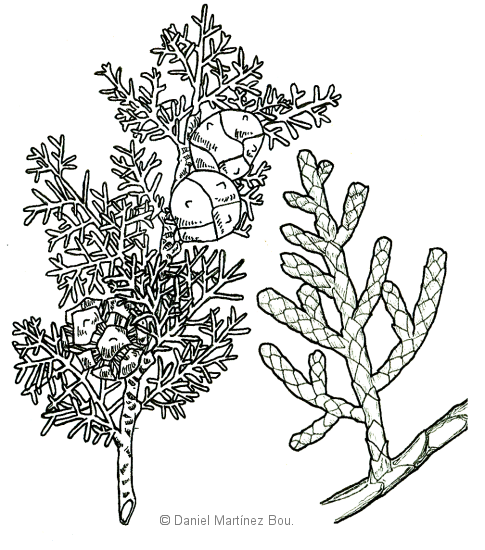 drawing of cypress
