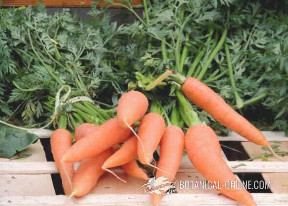 zanahorias mercado