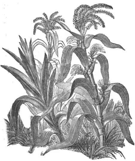 Drawing of the plant
