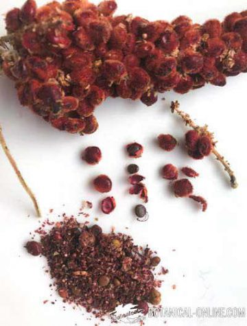 sumac plant spice with leaves and fruits