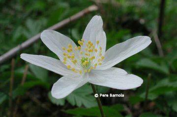detalle de la flor de anémona