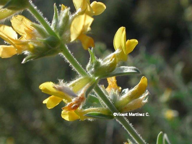 Anthyllis cytisoides