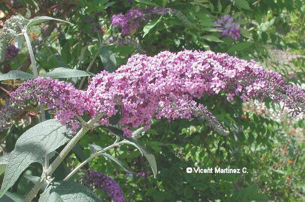 flor de lilo de verano