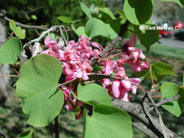 Flor Arbre de l' amor, arbre de Judes, Cercis siliquastrum