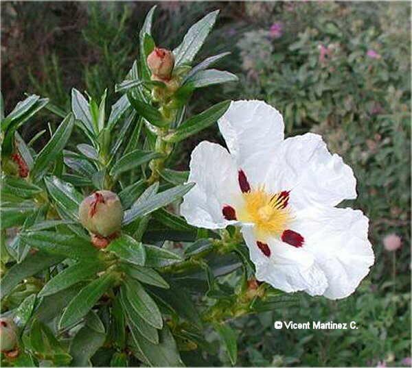 Flor Estepa ladanífera, Cistus ladanifer L.