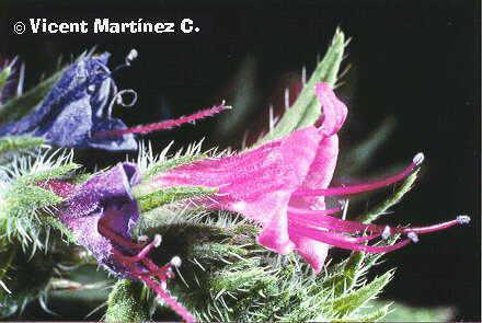 Echium vulgare-viborera