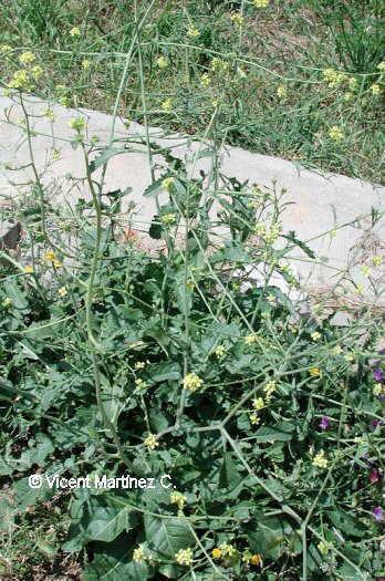 Erucastrum nasturtiifolium
