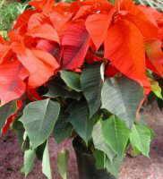 Flor Flor de Pasqua, Euphorbia (Poinsettia ) pulcherrima