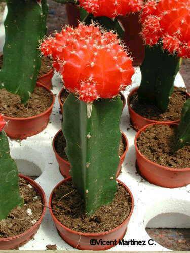 Toutes les plantes avec leur tolerence de température minimal pour l'hiver. Gymnocalycium_mihanovichii