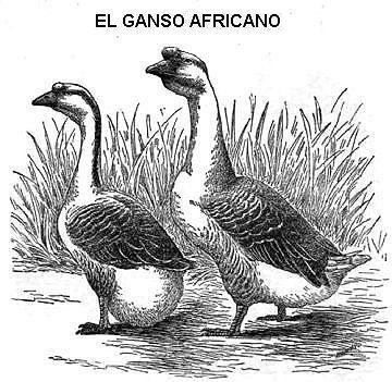 Ganso africano