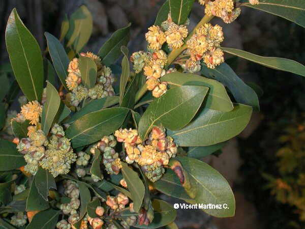 Photo of laurel leaves and flowers