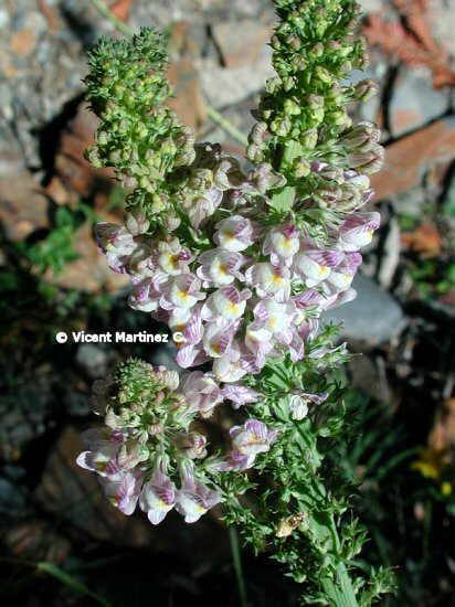 PALE TOADFLAX
