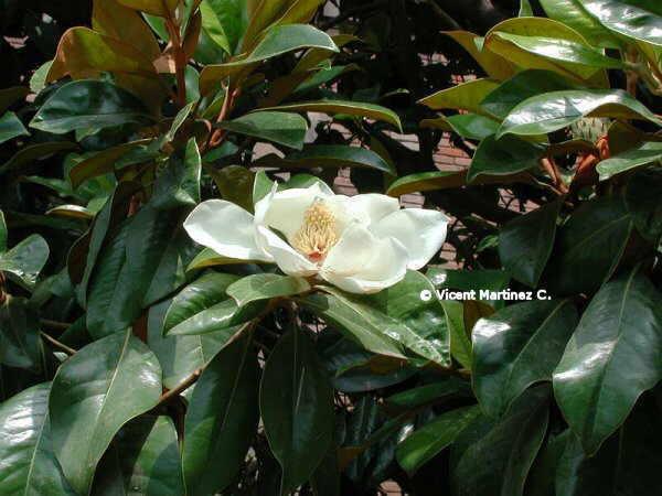 Magnolio - Magnolia planta cuidados ...