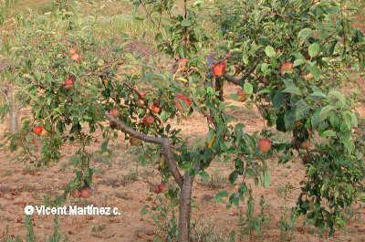 Foto de manzano cargado de frutos