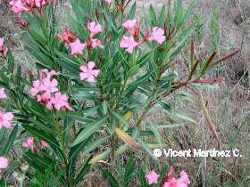 Fotos de arbustos - Lista nombre arbustos ...
