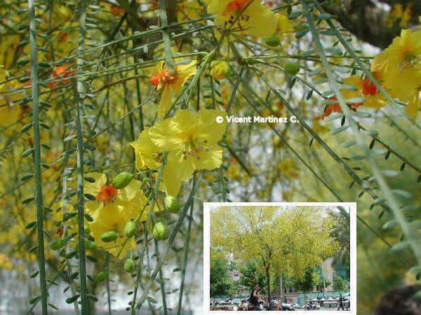 http://www.botanical-online.com/material/Parkinsonia_aculeata.jpg