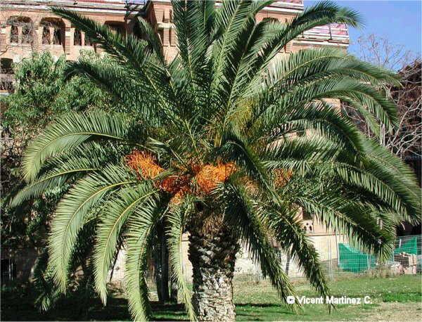 Foto de palma canaria