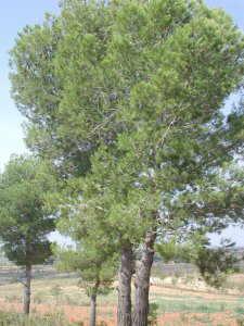pinus halepensis piña y hojas
