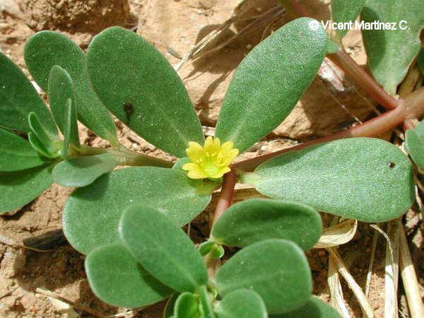 Flor Verdolaga, Portulaca oleracea L.