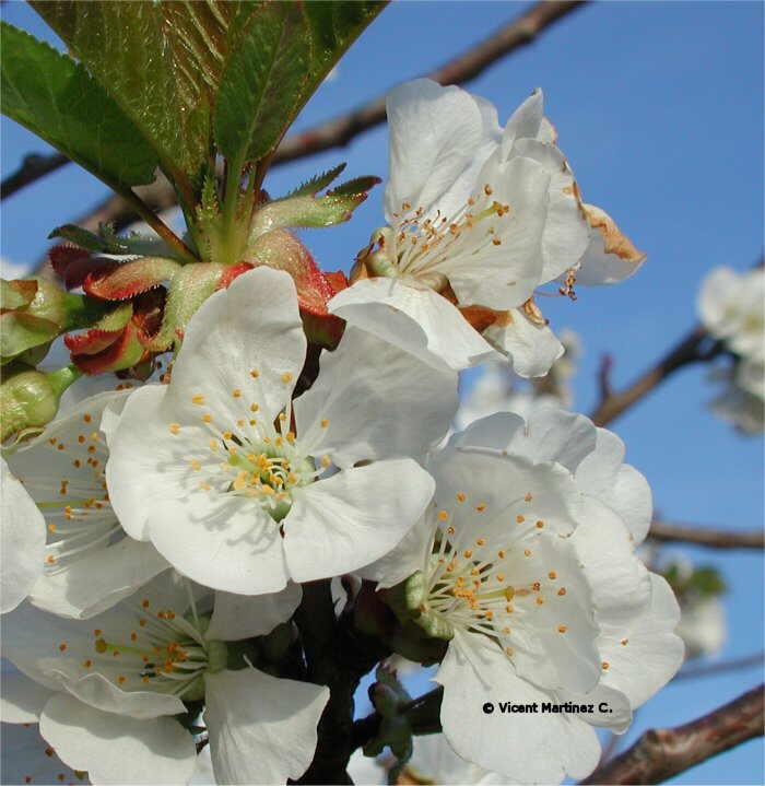 Prunus avium flores