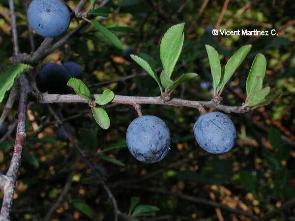 Prunus spinosa, detalle de los frutos