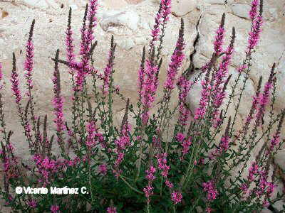 the characteristics of purple loosestrife an invasive exotic plant species See also: invasive plants of ohio for worst invasive plant species identified in ohio's natural areas southeast exotic pest plant council invasive plant manual - purple loosestrife southeast exotic pest plant council.