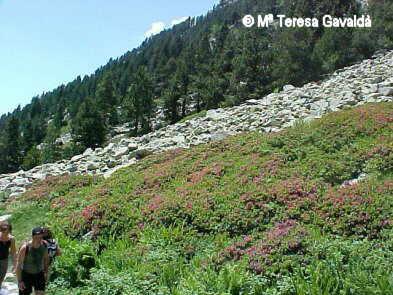 Rhododendron ferrugineum, en la montaña