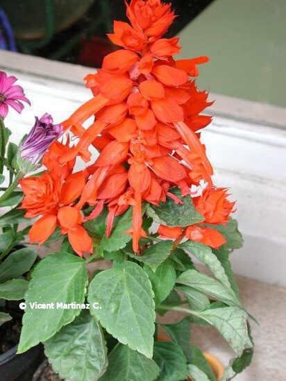 Foto de Salvia splendens