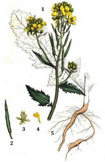 brasicaceae