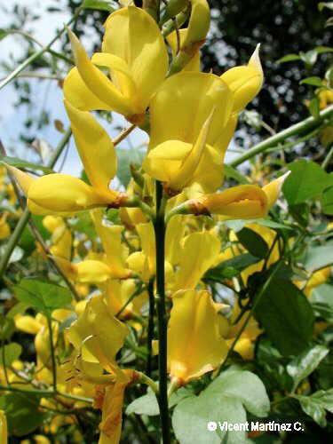 flor de retama