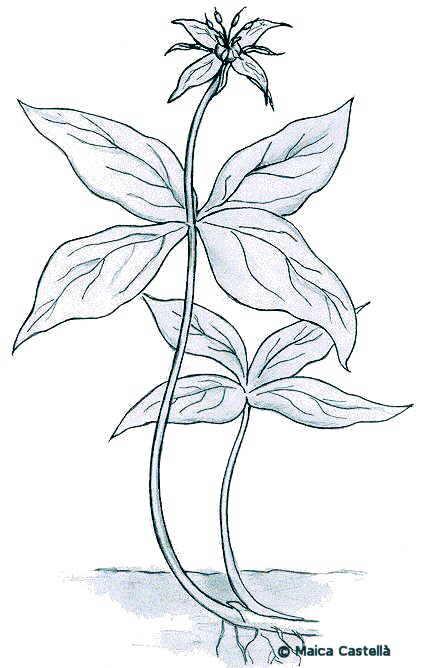 Dibujos de Hierbas Silvestres